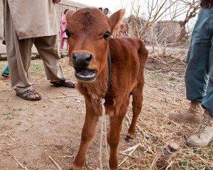 ep 5 red heifer pro
