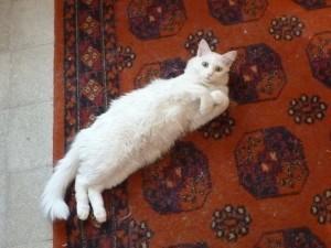 Rabin Cat